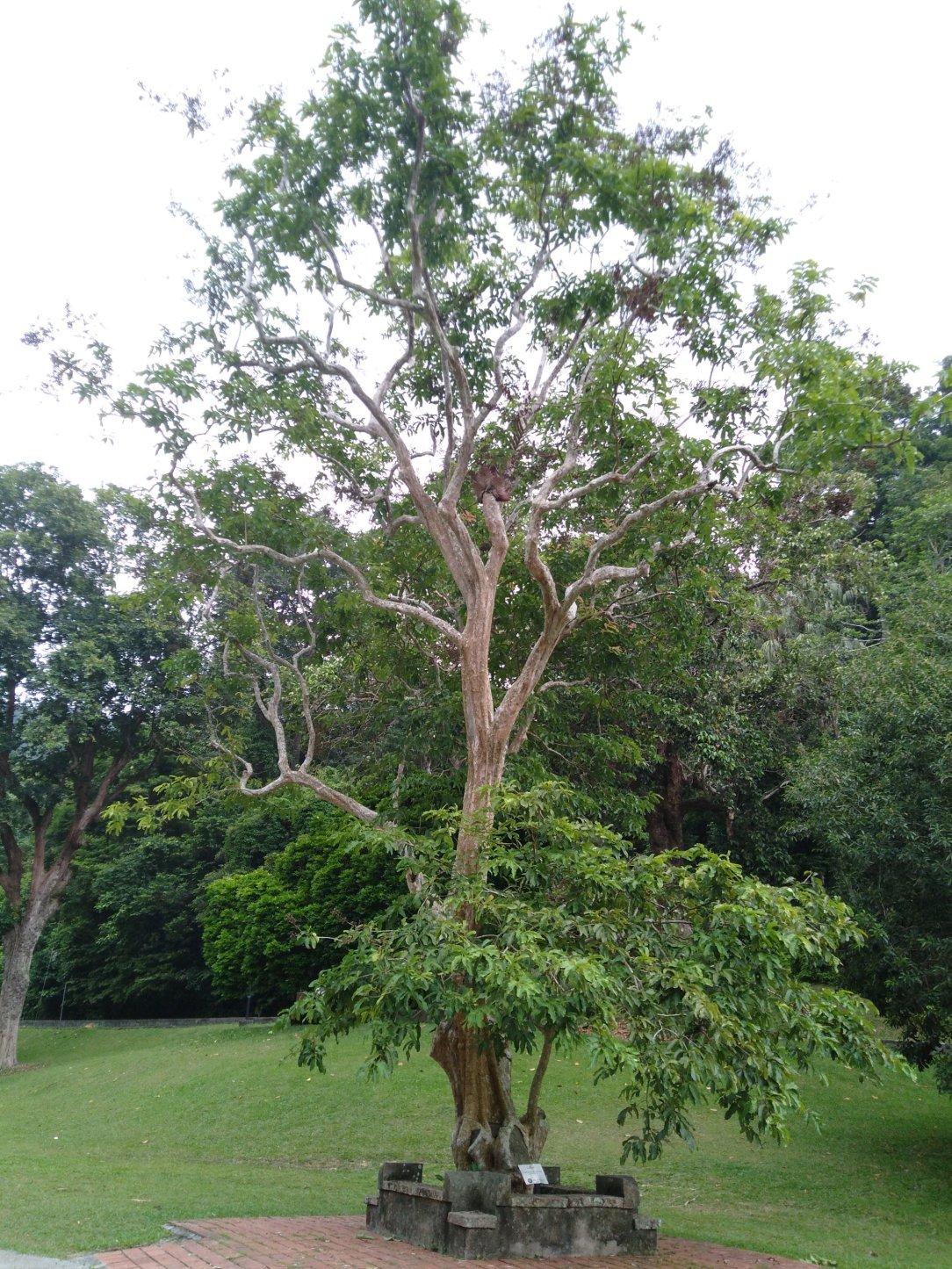 penang botanic garden trees ad flowers